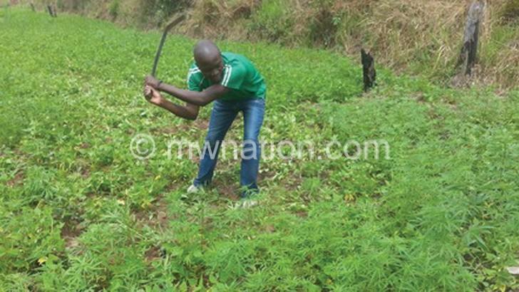CHAMBA PLANTATION | The Nation Online