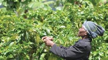 Mzuzu Coffee shines in Taste of Harvest Competition