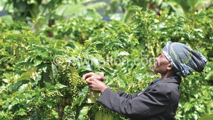 coffe picking | The Nation Online