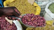 Project pushes up legumes output