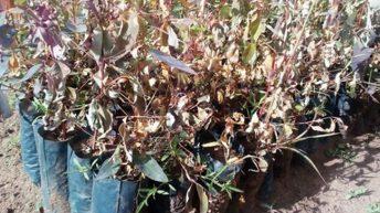 Unknown people poison K40m eucalyptus nursery