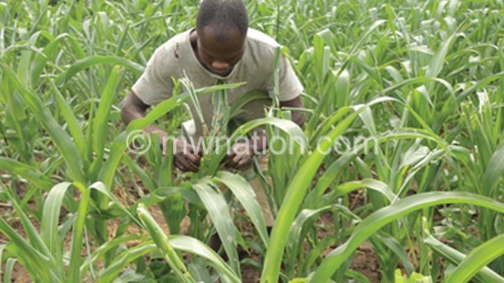 Mchinji projects16% yield drop