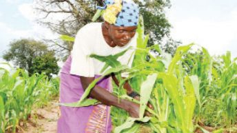 Dying crops under attack