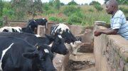 Khama ndiye yankho  poweta ng'ombe zamkaka