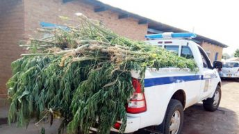 Father, sons arrested for marijuana cultivation