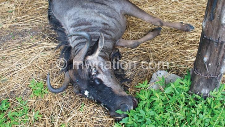 Dead wildebeest   The Nation Online