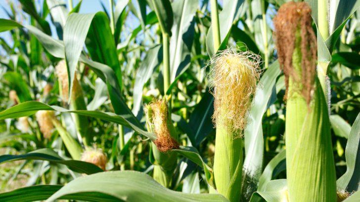 Hope for maize farmers so far