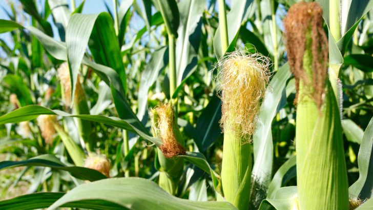 First round crop estimates show increase in maize production