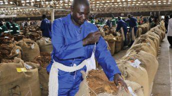 Oversupply chocks  tobacco market