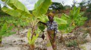 Battling to save bananas in Nkhata Bay