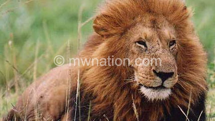 Lion | The Nation Online