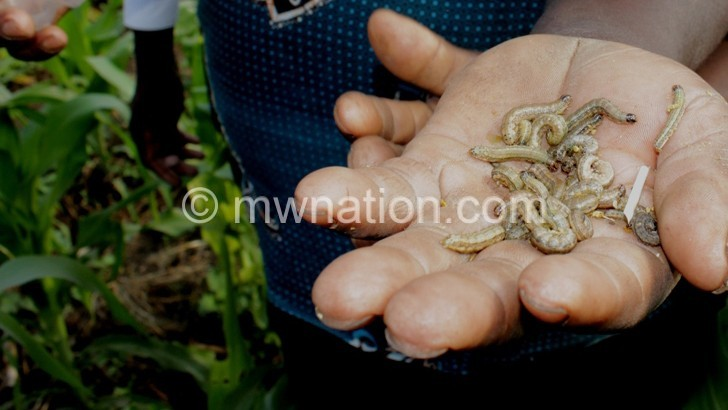 Maize field armyworms | The Nation Online