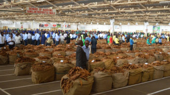 Recycled seed threatens tobacco industry