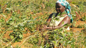 Delay pigeon peas  Buying—farmers