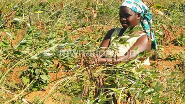 pigeon peas 1 | The Nation Online