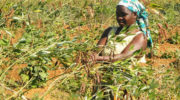Committee says pigeon pea prices disadvantage farmers