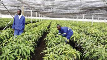 Malawi Mangoes deny tax evasion claims
