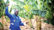 New hope for banana farmers