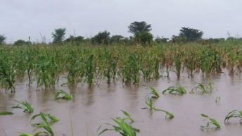 Maize prices rise 25% due to floods