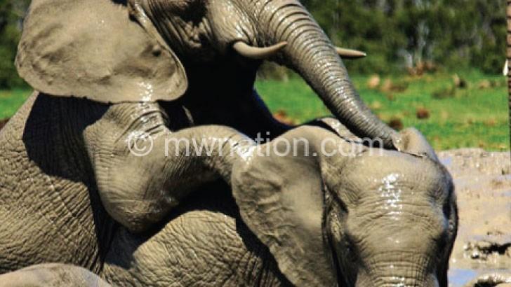 elephants | The Nation Online
