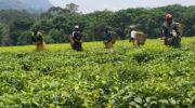 Malawi to cash in on Kenya tea deficit