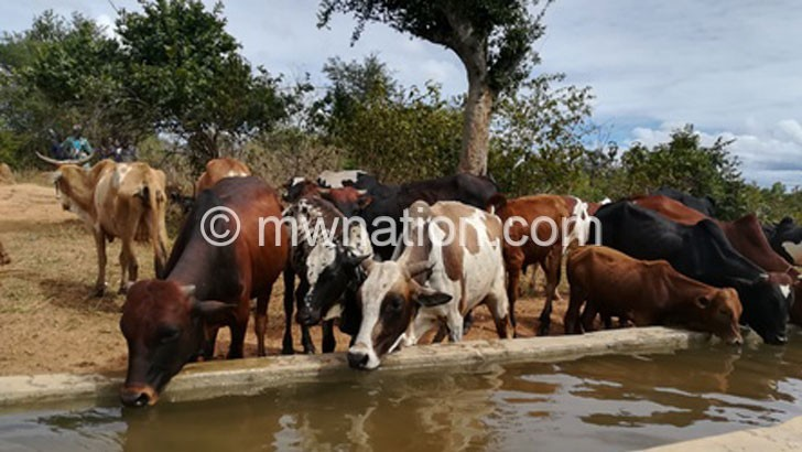 cattle | The Nation Online