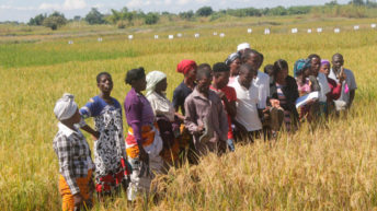 Research station plans to  release new rice varieties