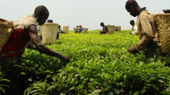 Low tea prices worry Malawi growers