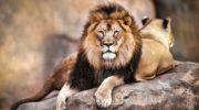 Saving lions, pride of Malawi