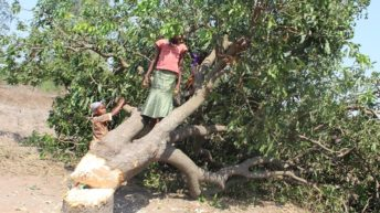 Mango trees burn as forests wane