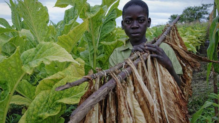 US tobacco 'ban' shocks growers