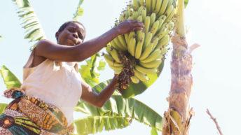Dwarf bananas, big bunches