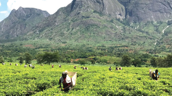 Heatwave threatens tea yields, livelihoods
