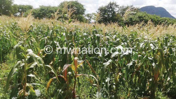 maize garden | The Nation Online