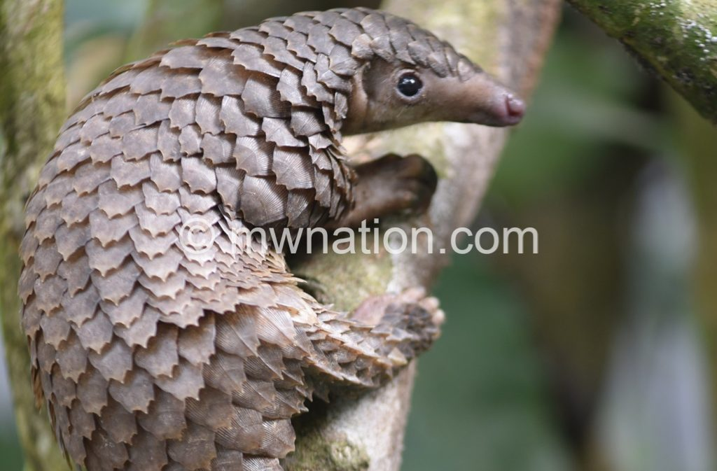 Pangolin | The Nation Online