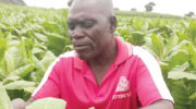 Pest attacks threaten  tobacco output—farmers