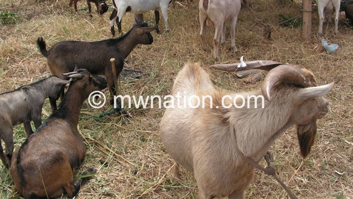 goats | The Nation Online