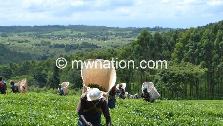 tea   The Nation Online