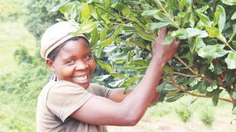 Glittering gold in macadamia farming